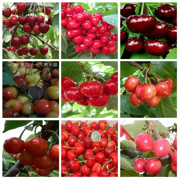 小黑兰特樱桃树苗产量怎么样脆甜樱桃树苗品种