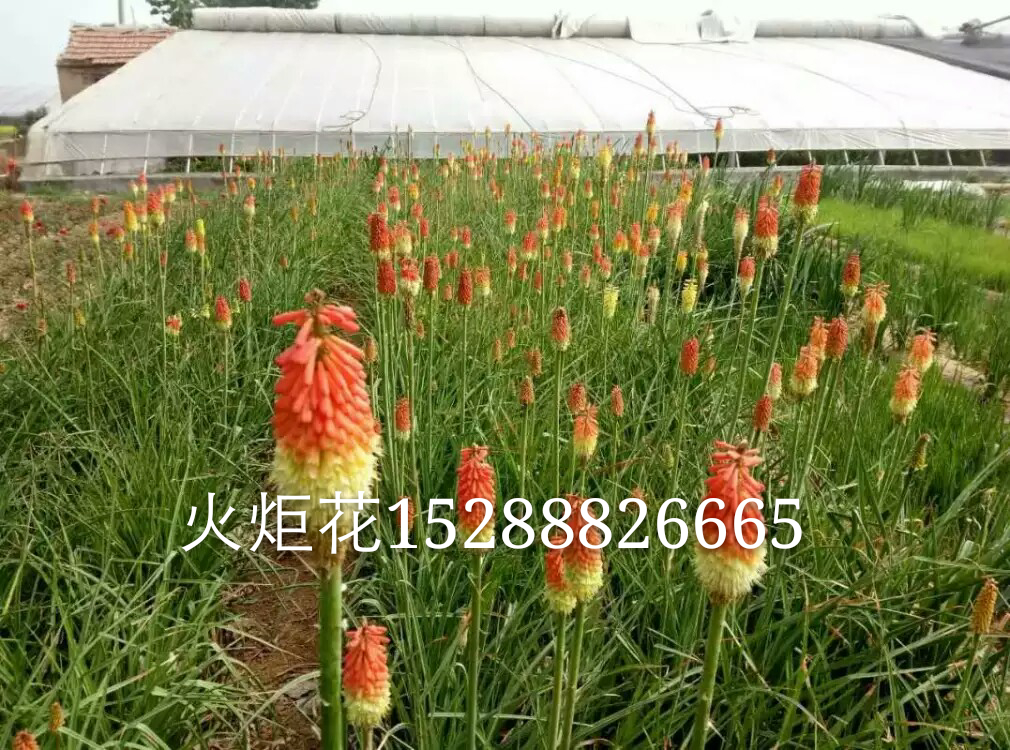 山东省青州市皓旭花卉苗木基地,中国宿根花卉协会会员,中国景观