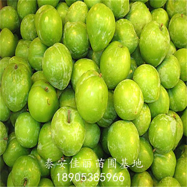 蜂糖李子树苗价格 泰安佳丽苗圃品种纯 价格优