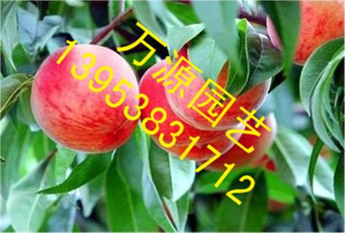 占地苗 桃树种植技术 品种介绍 免费指导 春雪