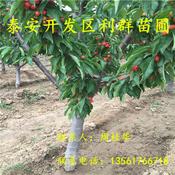 山东2公分樱桃树苗出售