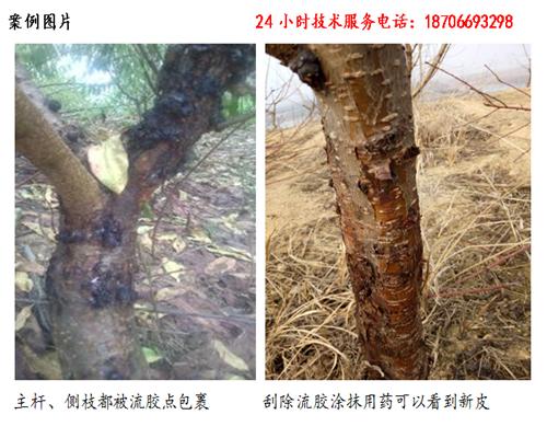 桃树樱桃树流胶病如何进行防治生理性流胶病图片