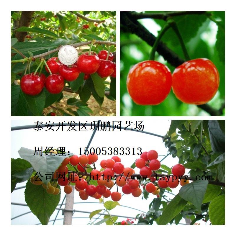 樱桃树苗品种及规格:美早樱桃苗