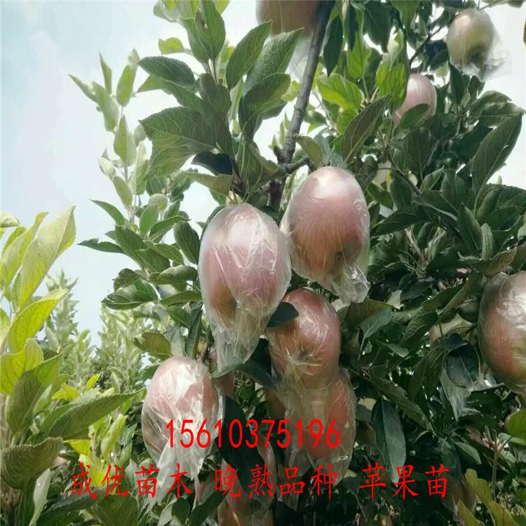 三公分苹果树苗5公分苹果树哪里卖