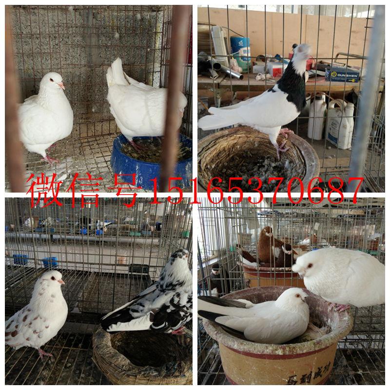 蚌埠熊猫金鱼观赏鸽价格图片