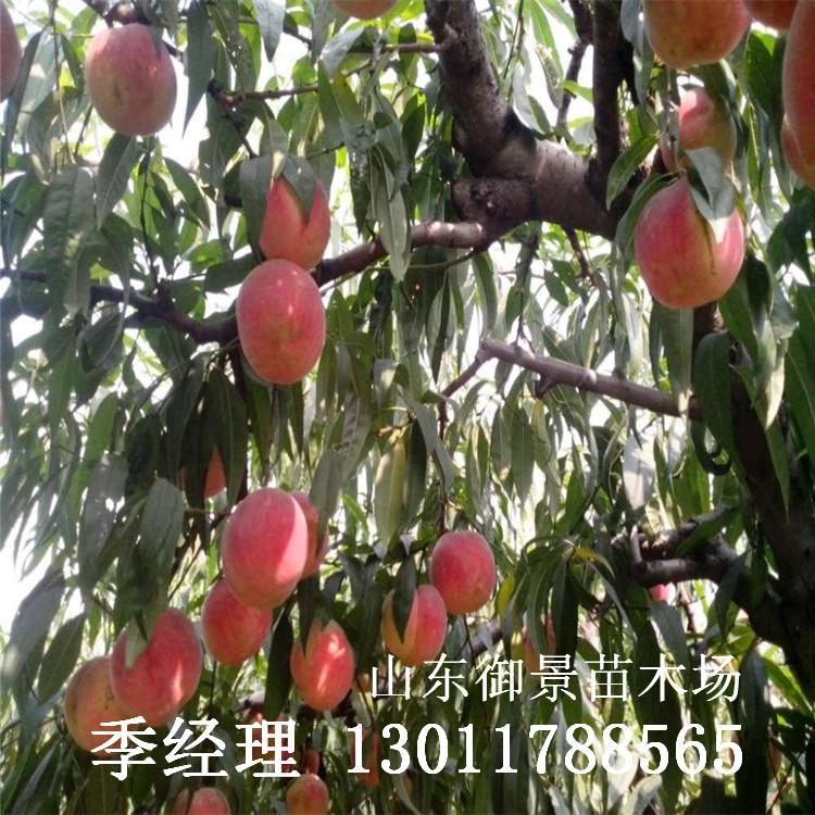 黑桃桃树苗哪里有卖的
