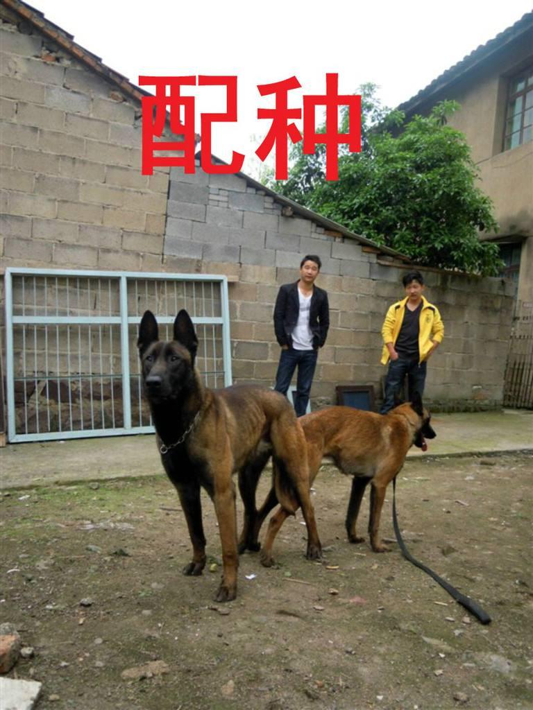 血堤犬_血提犬能打过马犬吗-马犬和杜宾犬打架视频 马犬和黑狼犬打架