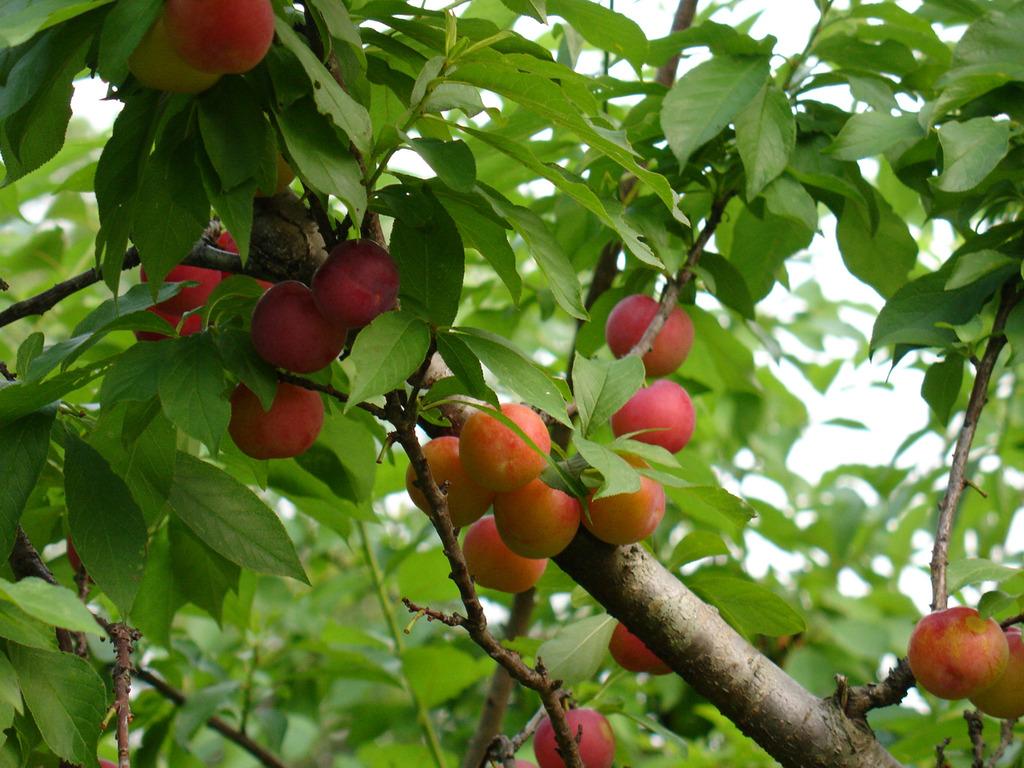 6公分李子树一亩地种植多少棵图片