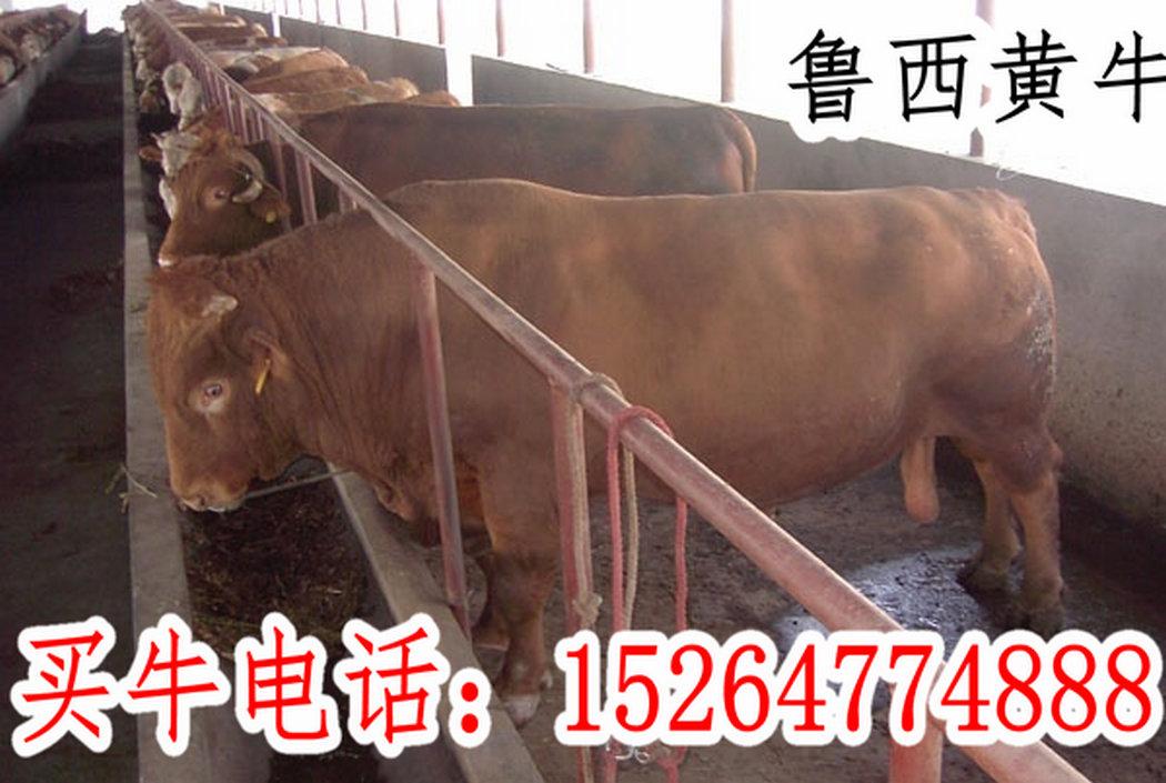 农业综合 正文    黄牛种苗价格省钱的牛舍建造东北牛的图片
