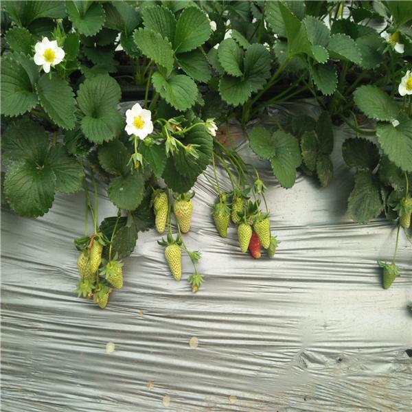 沈阳枣树苗种植基地