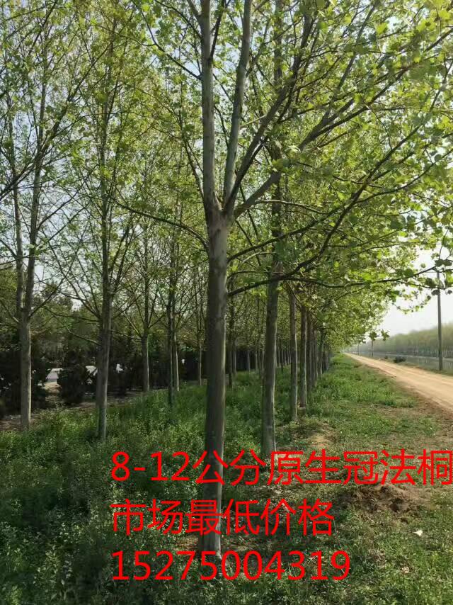 顺平县法桐供应商一手货源找明顺苗木基地