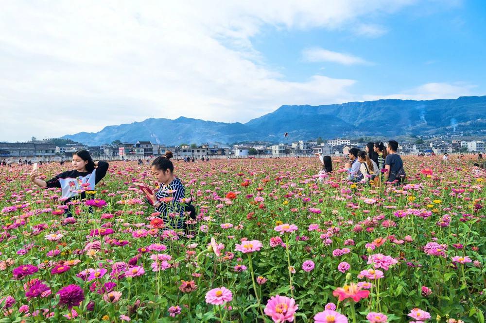 四川省专业打造景区百日草种子的花期