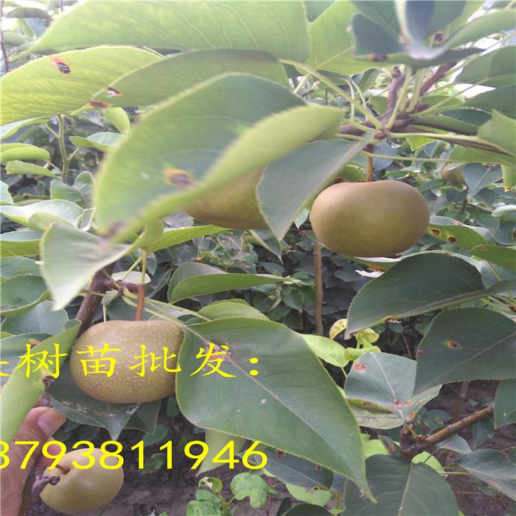 洛阳市种植梨树苗适合吗