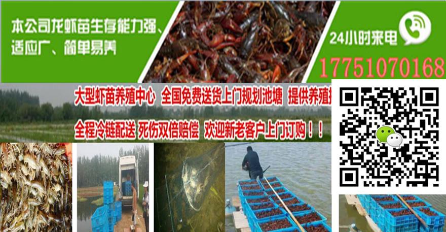 无锡小龙虾图片小龙虾养殖池塘设计图
