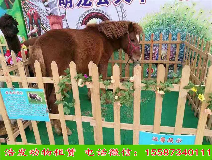 佳木斯本地动物园羊驼出租矮马出租
