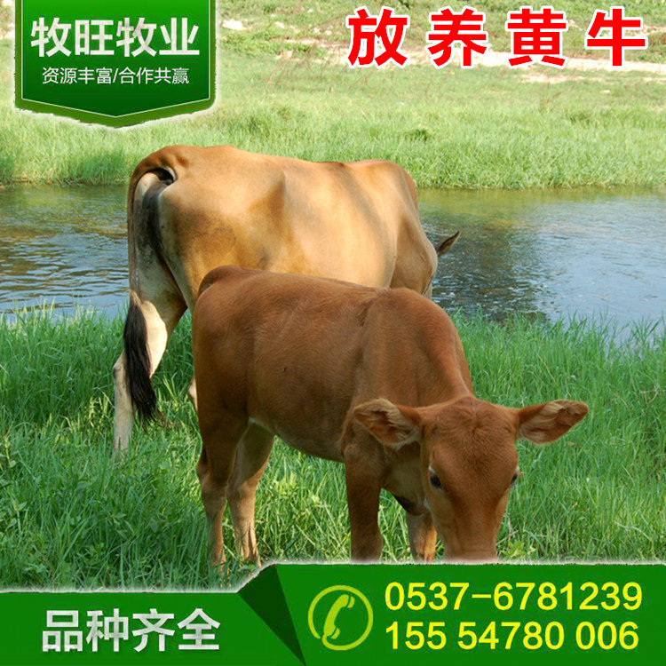 黄牛价格行情新疆夏洛莱牛肉牛价格江西黄牛价格行情山西重庆鲁西黄牛