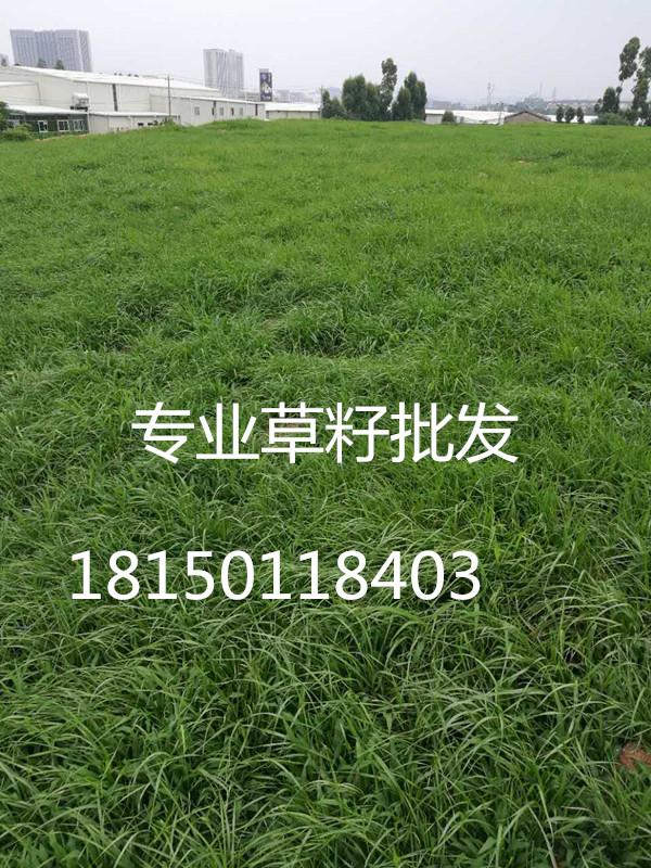 冷季型草种有:高羊茅,草地早熟禾,白三叶,多年生黑麦草等,本公司品种图片