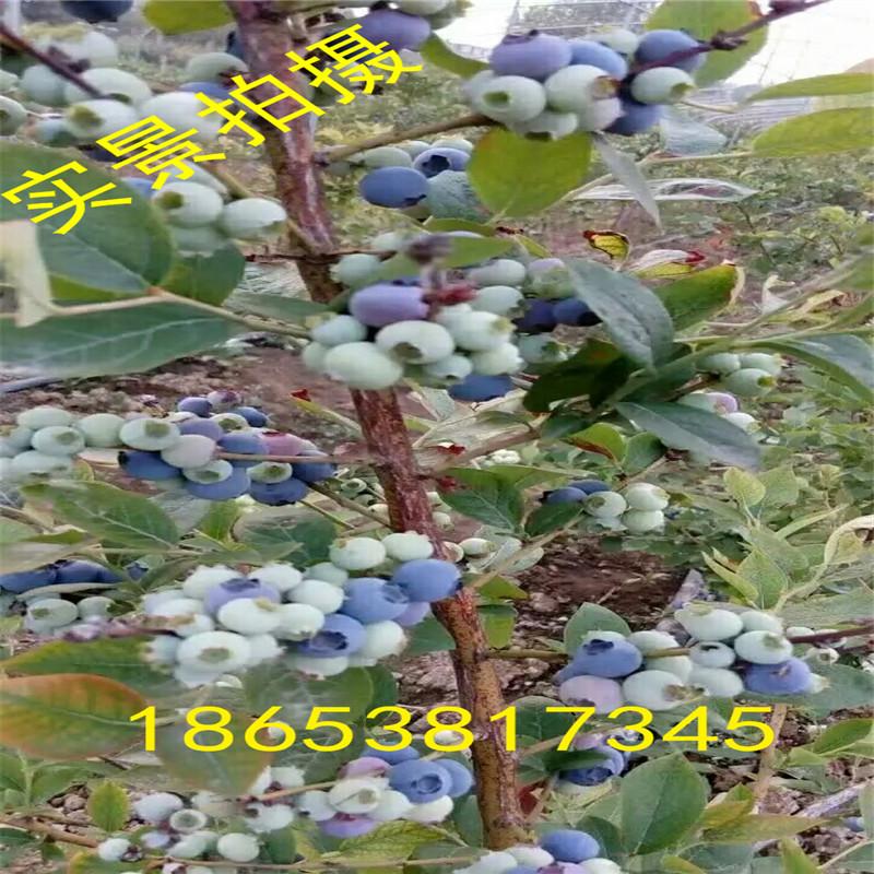 主栽品种与授粉树可按5:1配置,以点状或行状均匀分布.