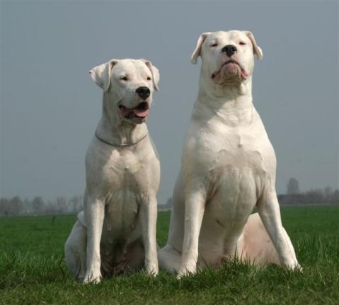 供应信息 正文  醴陵杜高图片 本犬舍常年自养繁殖各种名贵犬