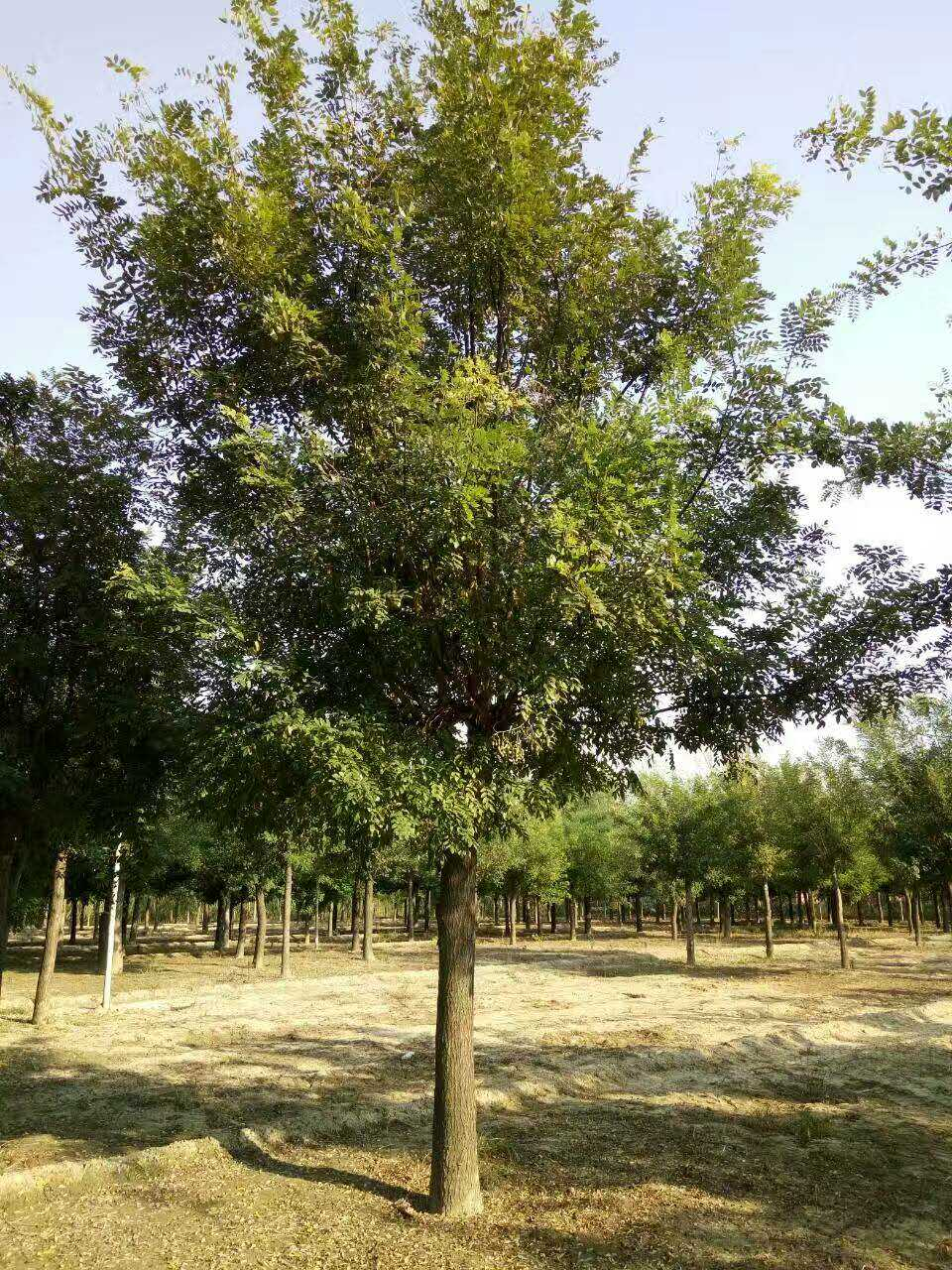 15公分国槐树二年冒价格