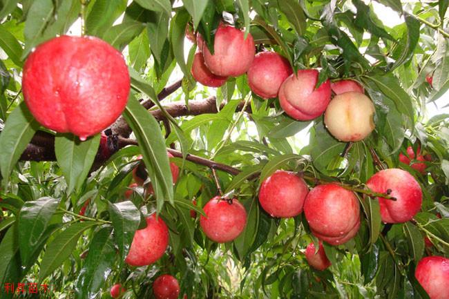 中油21桃树苗那里有
