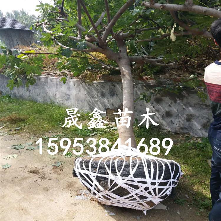 百年老堂梨树桩盆景