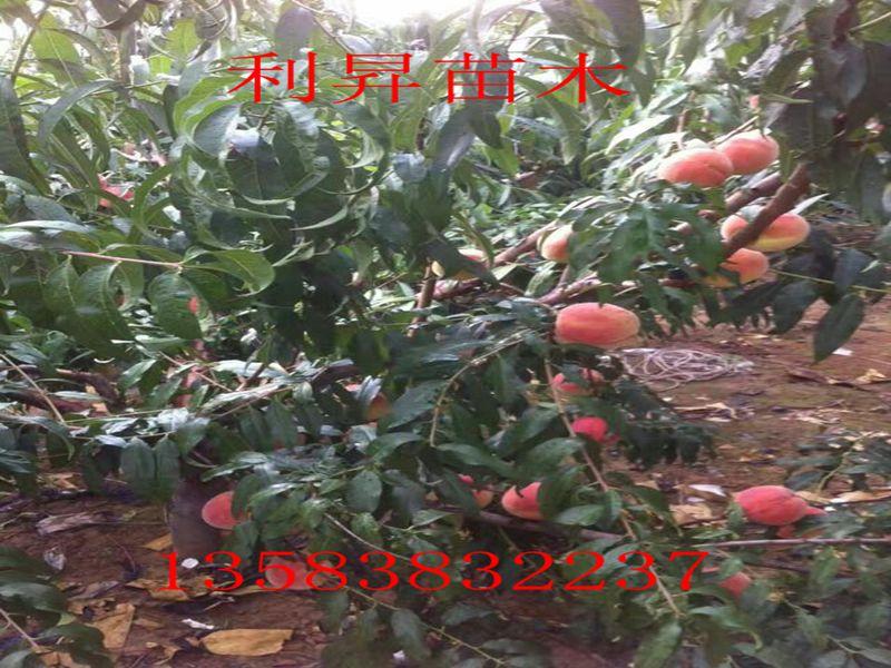 柳州桃树图片种植方法
