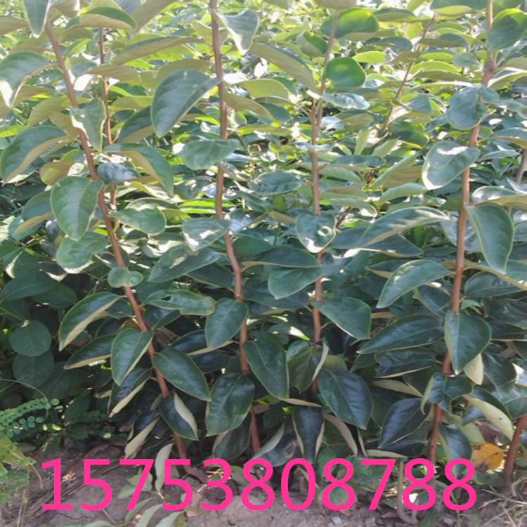 大量供应莲花柿子苗五公分柿子树苗