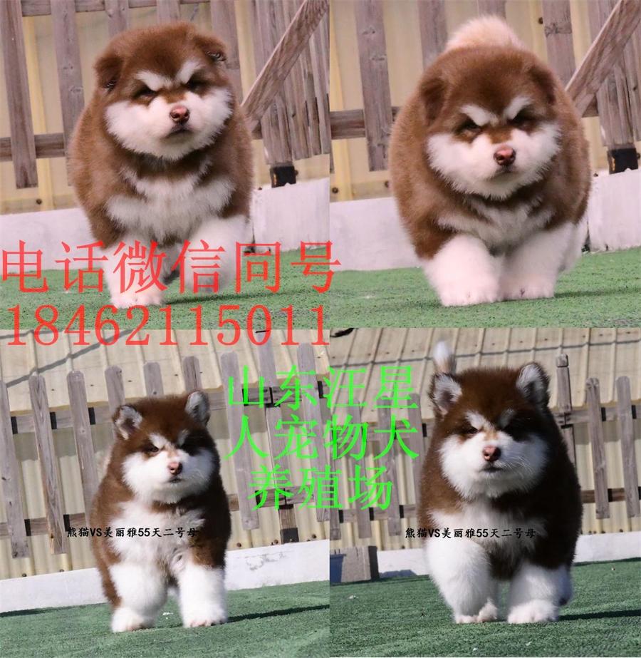 西安金毛宠物犬价格