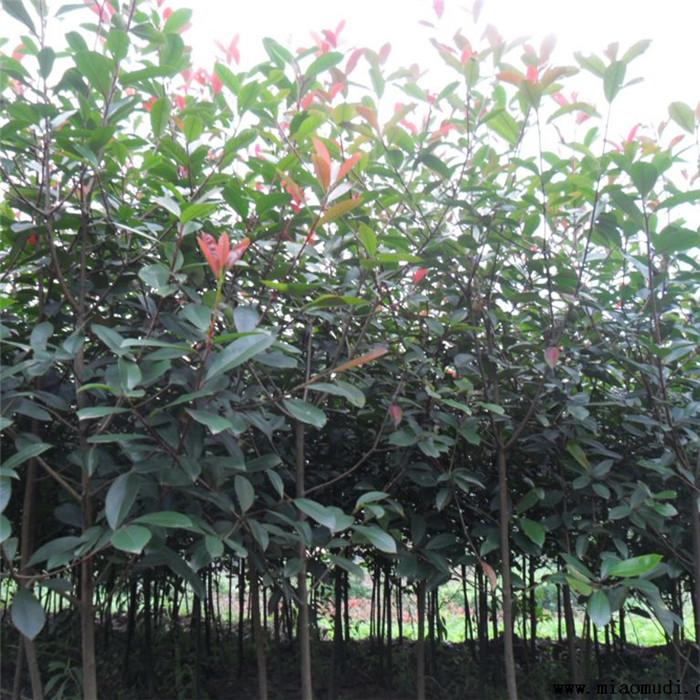 嫁接梨树苗喜水梨树梨苗2公分树