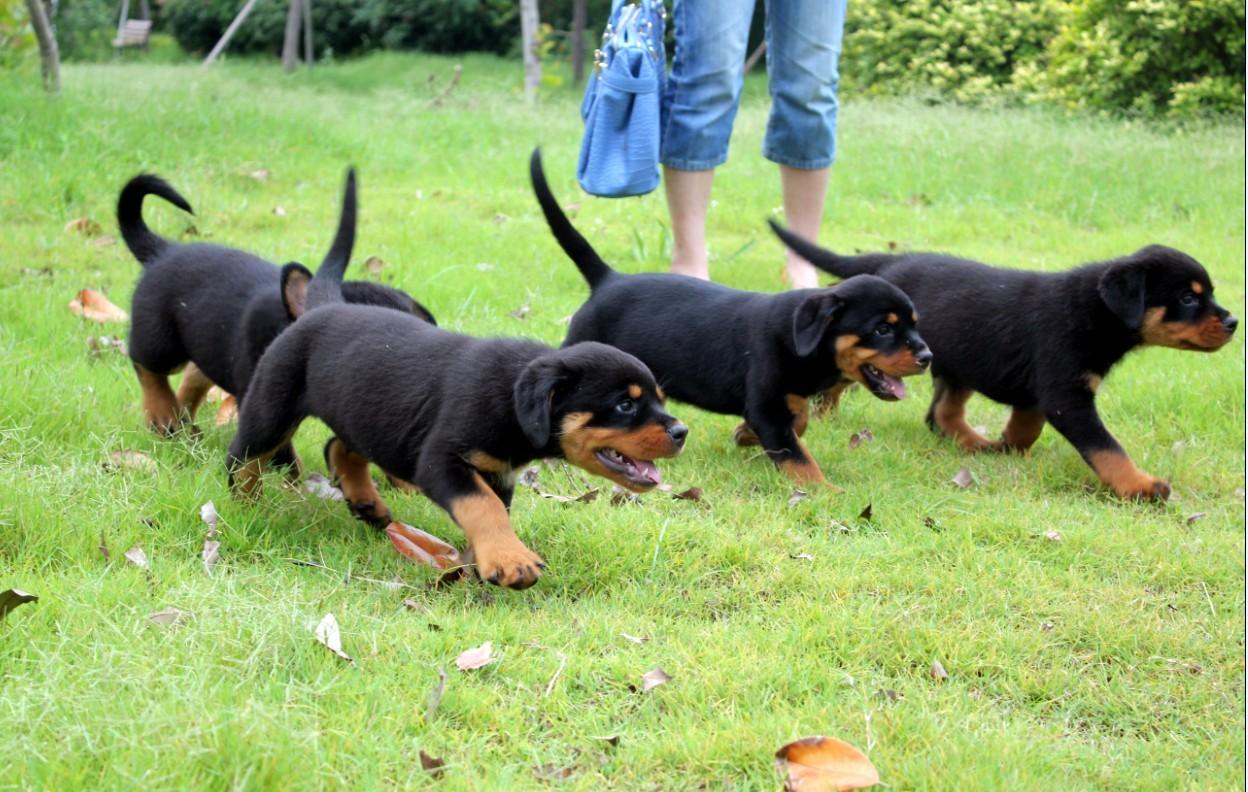 野鸡,野兔,细狗,黑狼犬,马犬,牧羊犬,罗威纳犬,比特犬,杜高犬,卡斯罗