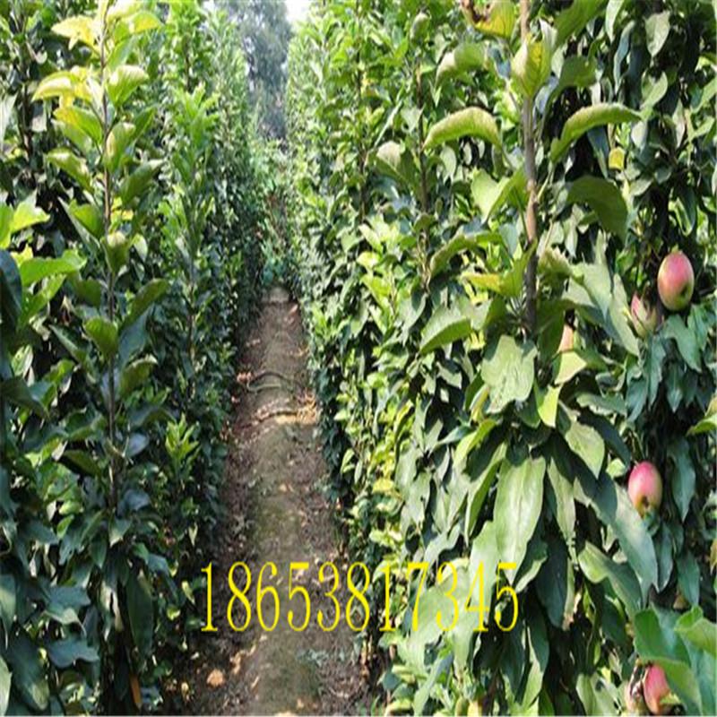 山西基地培育红杏树苗产品介绍