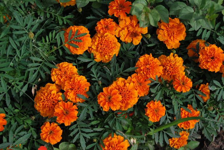 草�9�a���_孔雀草种子一斤有多少粒种子多少钱一斤