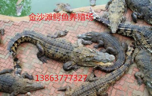 開封市鱷魚頭價格一百斤左右
