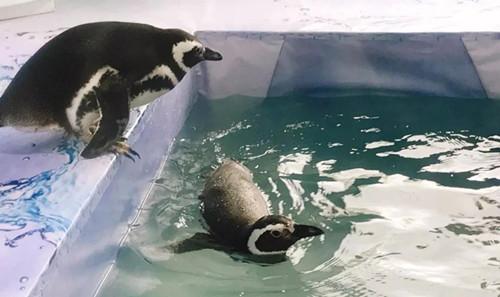 """而营半水生生活的加利f0ffff;""""秒速牛牛最新福尼亚海狮的基因是"""