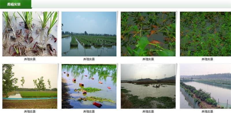 [环球]铜陵小龙虾苗基地小龙虾苗种供应