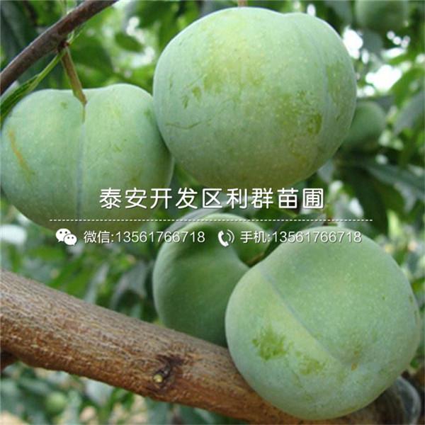 国峰7号李子树苗