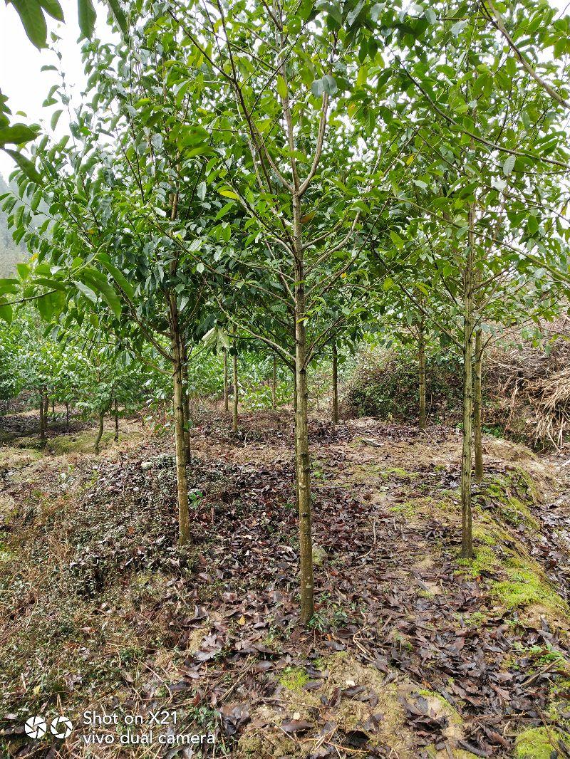 镇江求购米径8公分三角枫-其它落叶乔木-农苗网